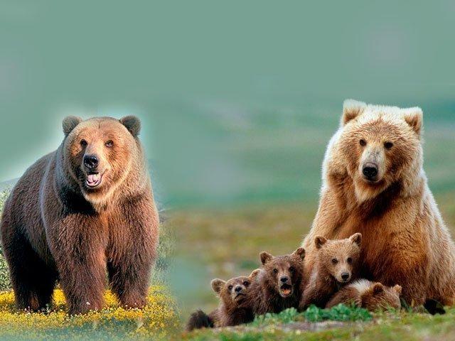К чему снится медведь женщине? Основные толкования разных сонников - к чему снится медведь женщине - Женское мнение
