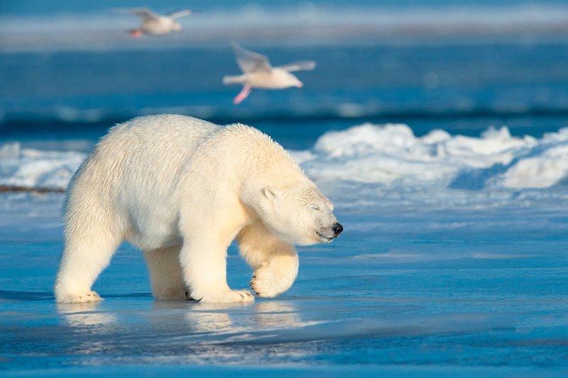 Белый медведь во сне