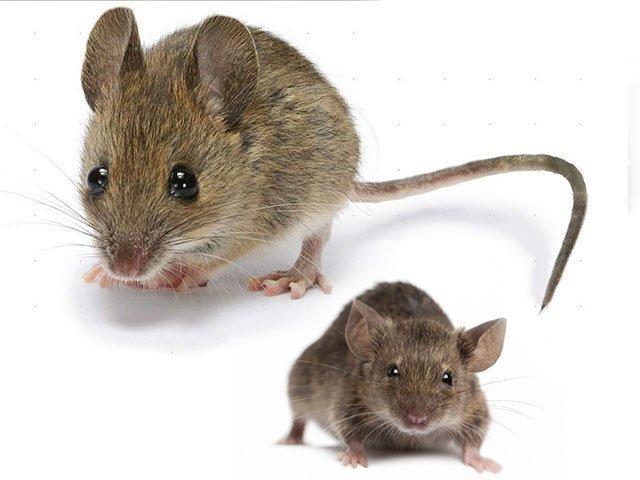 К чему снятся Мыши. Сонник Мыши. Приснились Мыши во сне видеть