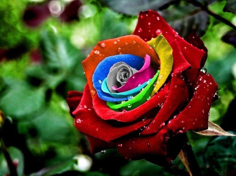 Цвет розы во сне