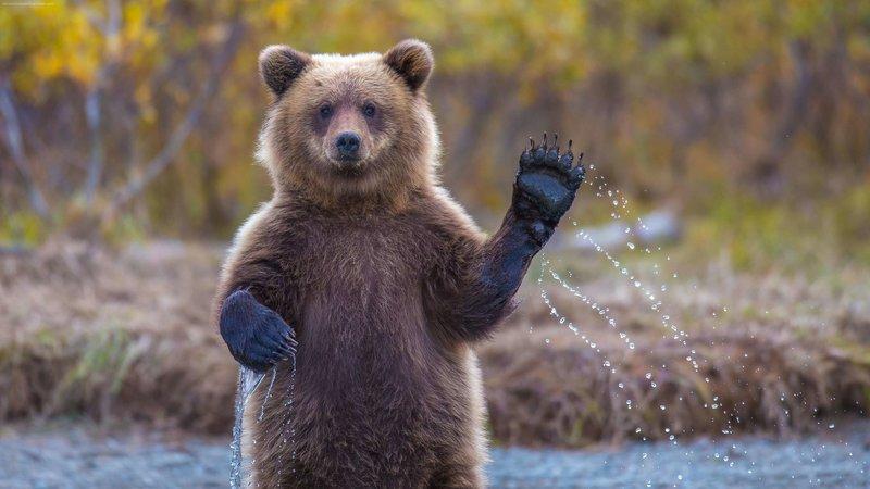 Действия медведя во сне