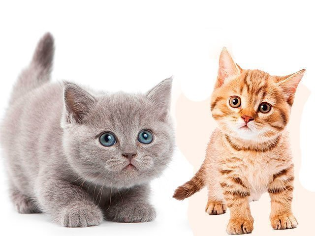К чему снятся котята женщине и мужчине сонник