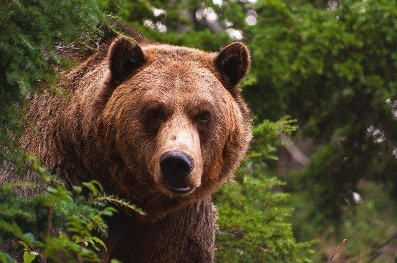 Образ медведя во сне