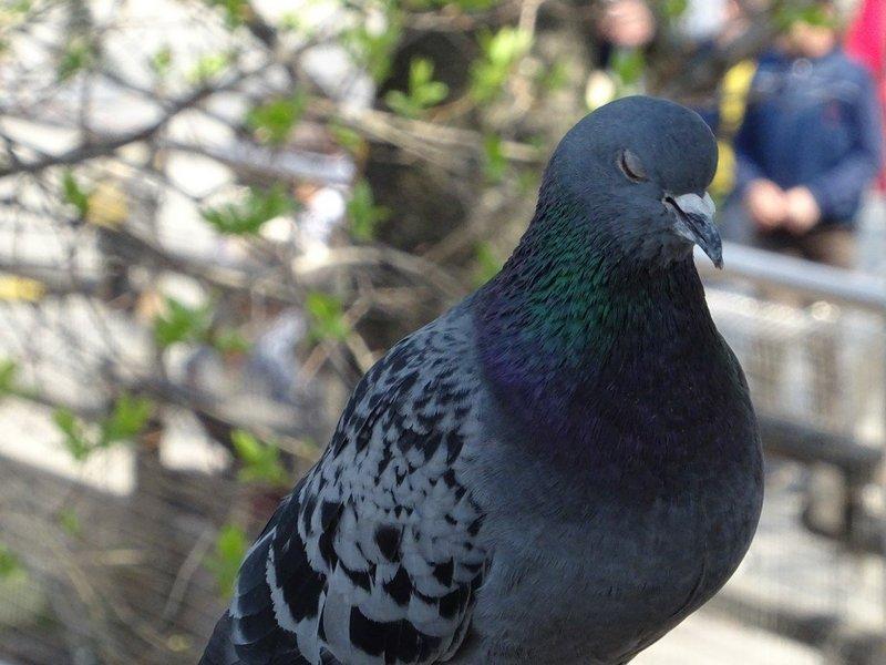 Размер голубя во сне