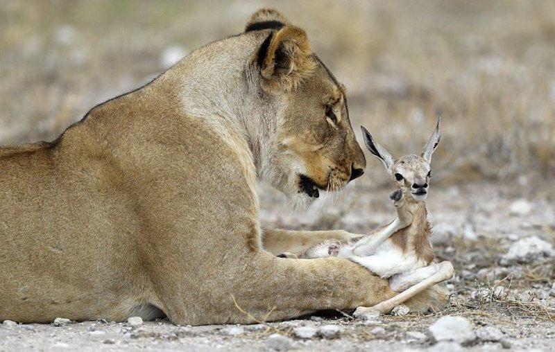 Что означает нападение льва во сне?