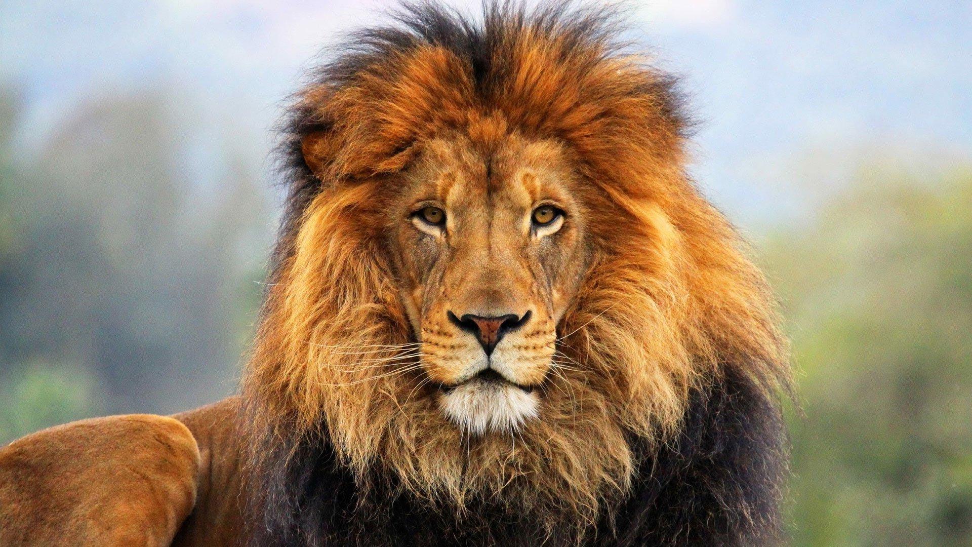 К чему снится лев во сне для женщины: сонник