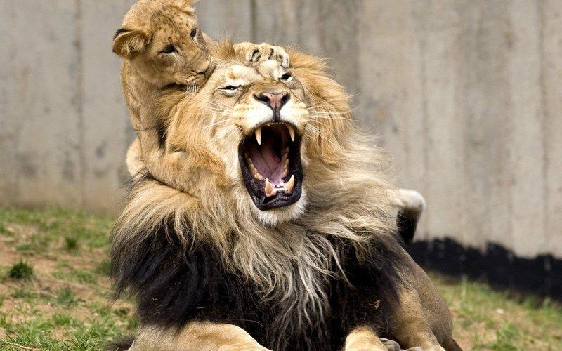 Что означает большой лев во сне?