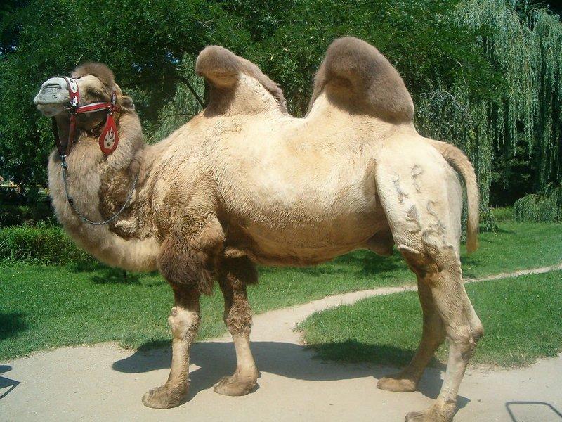 Верблюд по Копалинскому