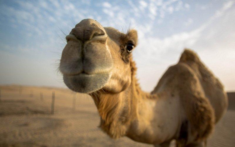Верблюд снится женщине