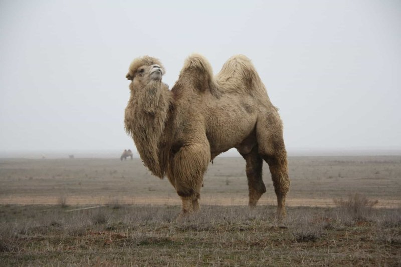 Верблюд по сонникам