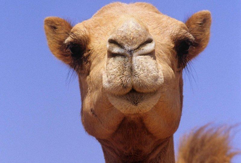 Верблюд по Эзопу