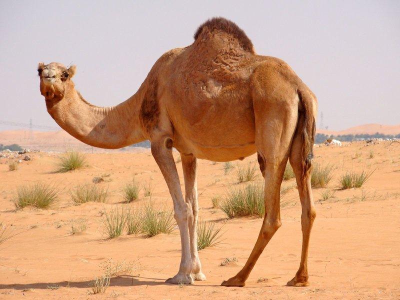 Образ верблюда во сне