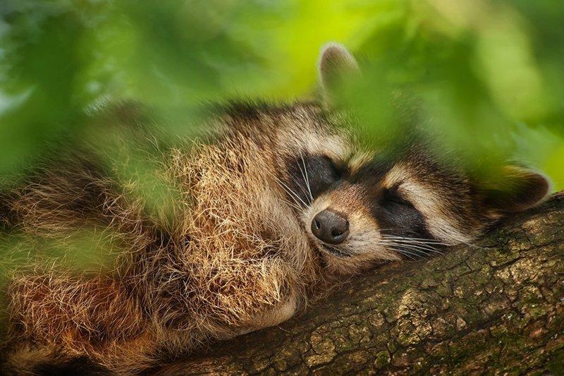 Толкование сна про енота