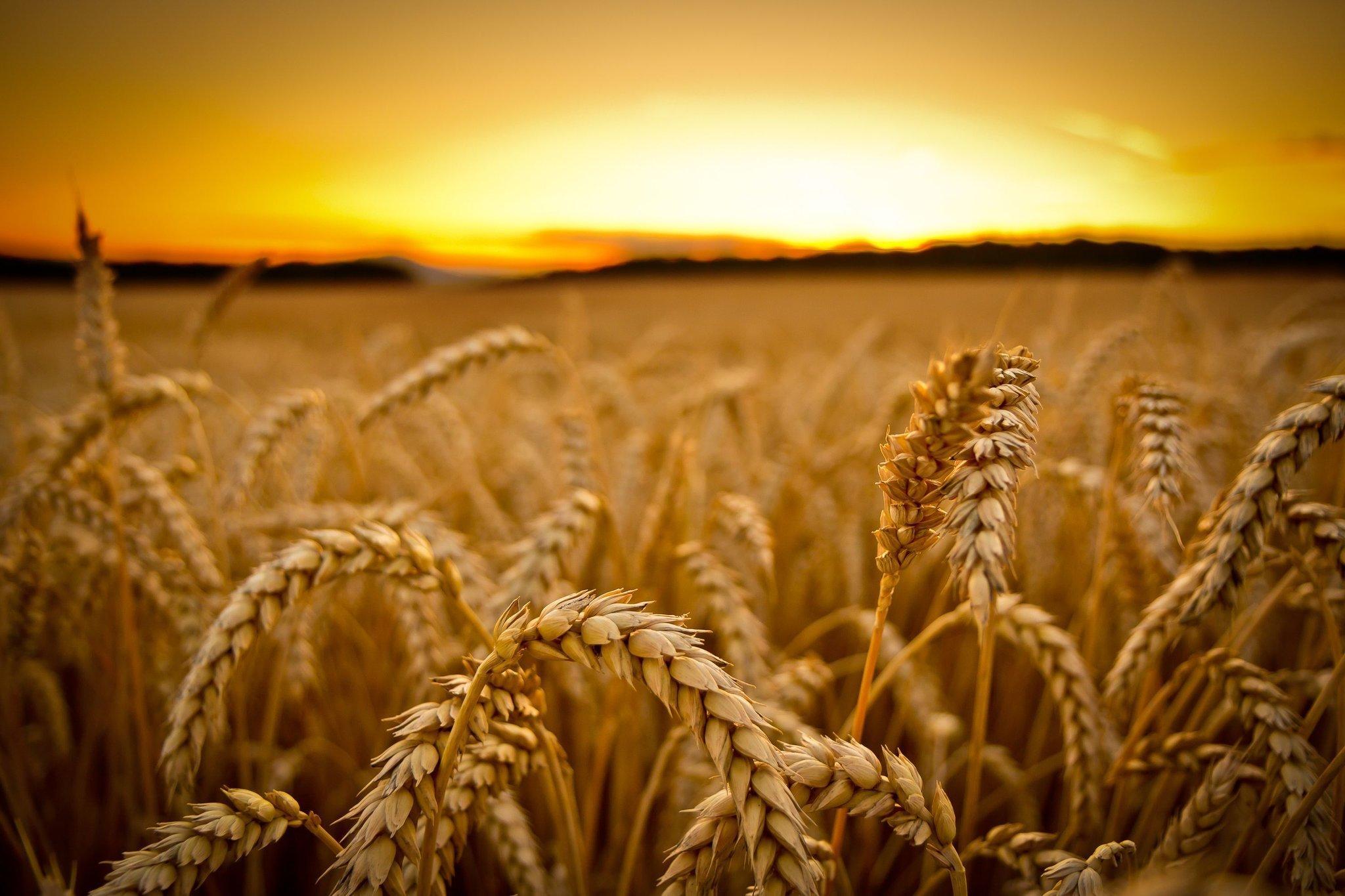 Заговор от чирья на колосья пшеницы