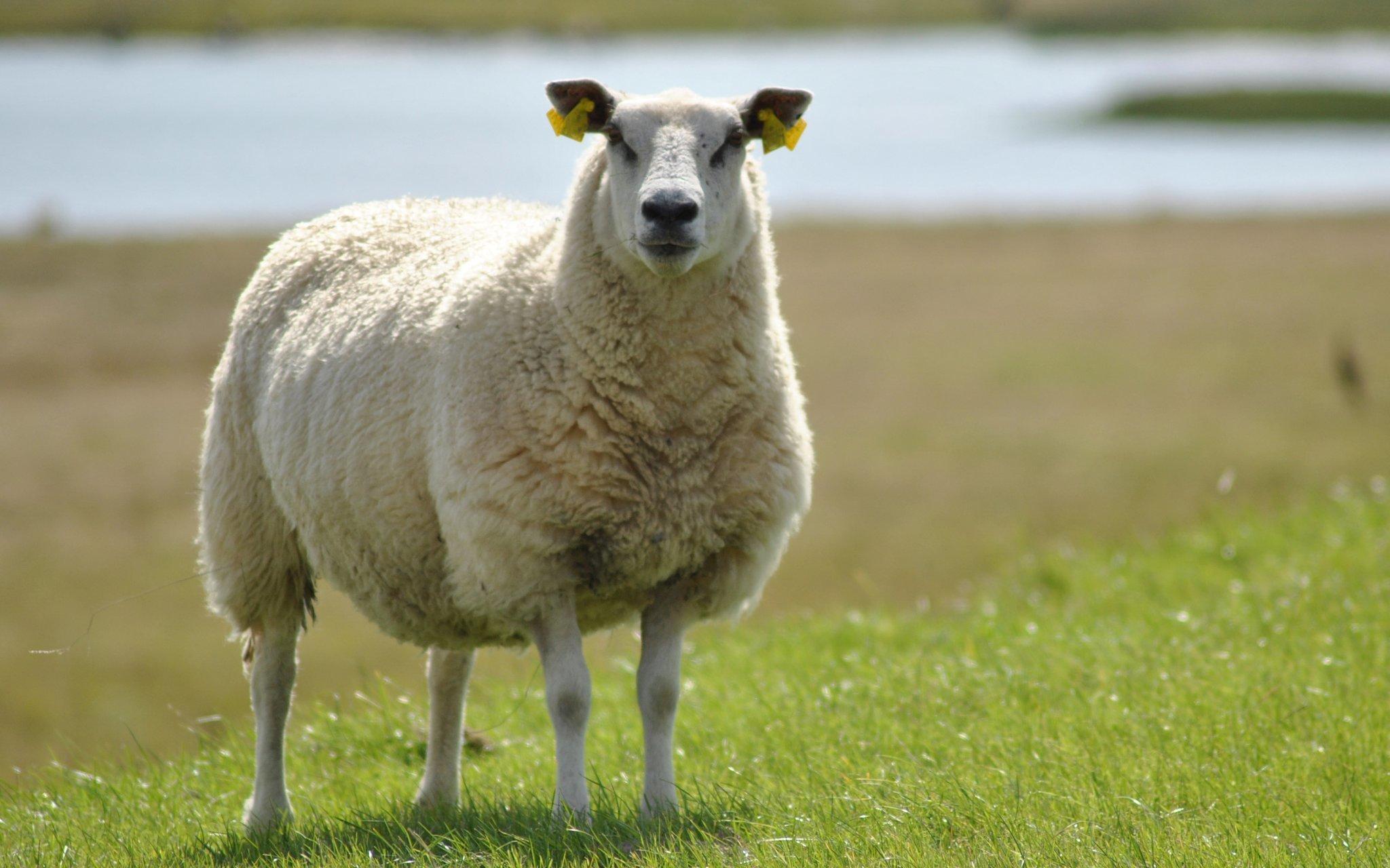 Заклинание на овчину
