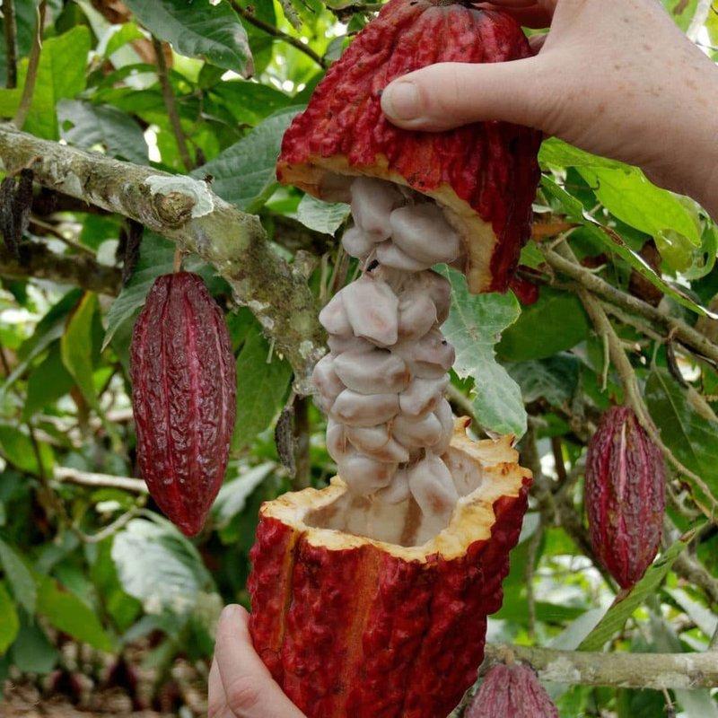 Спелый плод дерева какао