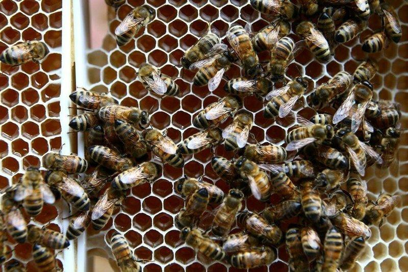 горбатый расплод у пчел фото имя