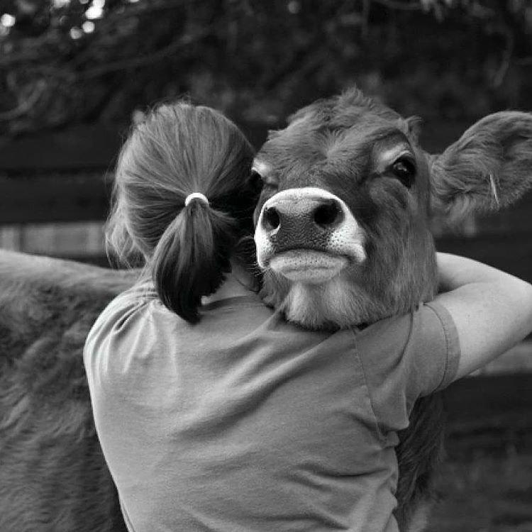 Девушка с коровой фото