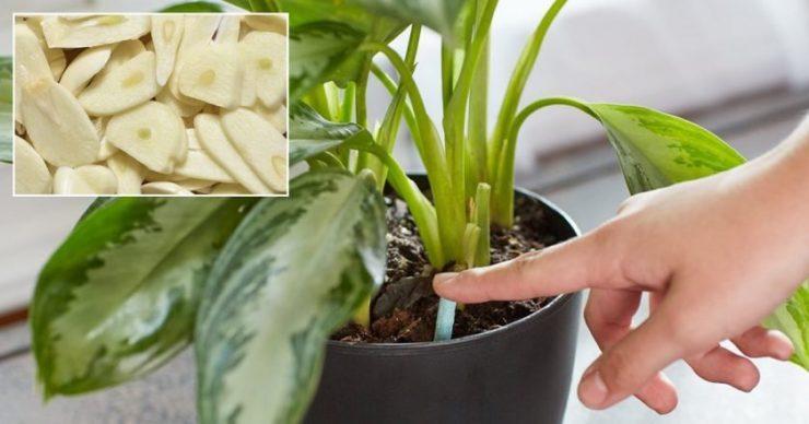 Как избавиться от паразитов в растении с помощью чеснока